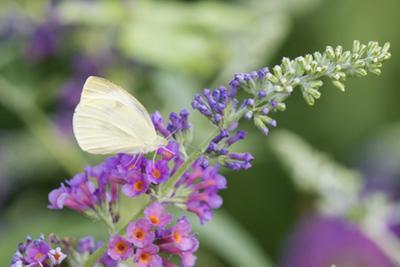 Cabbage White on Butterfly Bush, Illinois by John & Lisa Merrill