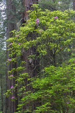 California, Del Norte Coast Redwoods State Park, Redwood trees and rhododendrons by John & Lisa Merrill