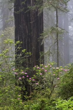 California, Del Norte Coast Redwoods State Park, redwood trees with rhododendrons by John & Lisa Merrill