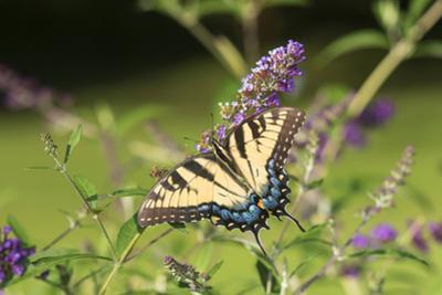 Eastern Tiger Swallowtail on Butterfly Bush, Illinois by John & Lisa Merrill