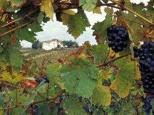 Farmhouse View Through Grapevine, Tuscany, Italy by John & Lisa Merrill