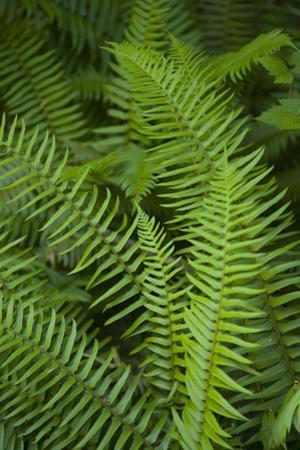 Ferns, Hoh Rain Forest, Olympic National Park, Washington, USA by John & Lisa Merrill