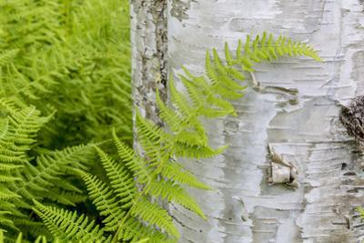 Ferns next to a paper birch tree, Reed, Maine by John & Lisa Merrill