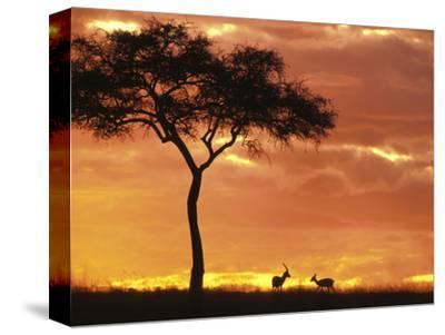 Gazelle Grazing Under Acacia Tree at Sunset, Maasai Mara, Kenya by John & Lisa Merrill