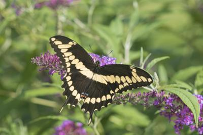 Giant Swallowtail on Butterfly Bush, Illinois by John & Lisa Merrill