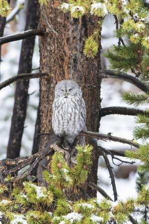 Great Gray Owl, in snowstorm, Yellowstone National Park, Wyoming by John & Lisa Merrill