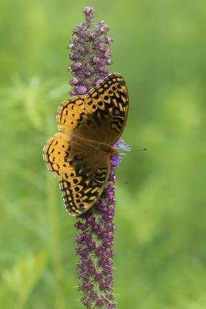Great Spangled Fritillary on Prairie Blazing Star, Stephen A. Forbes State Park, Illinois by John & Lisa Merrill
