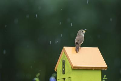 House Wren, male singing in the rain on nest box, Illinois by John & Lisa Merrill