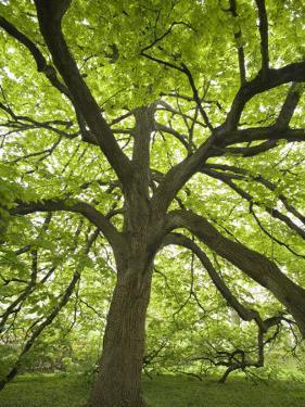 Huge Tree at Monticello, Virginia, USA by John & Lisa Merrill