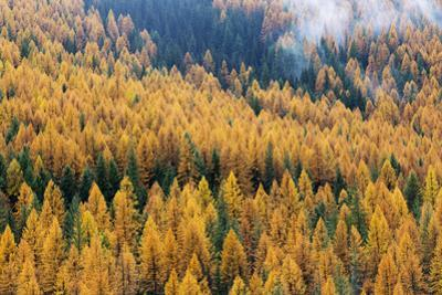 Montana, Lolo National Forest, golden larch trees in fog by John & Lisa Merrill