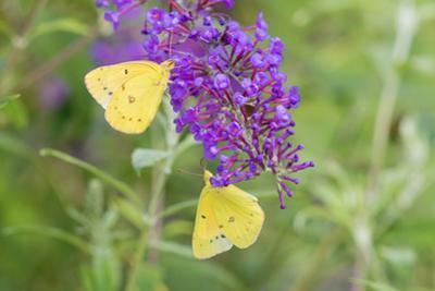 Orange Sulphurs on Butterfly Bush, Illinois by John & Lisa Merrill