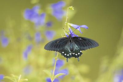 Pipevine Swallowtail on Blue Ensign Salvia, Illinois by John & Lisa Merrill