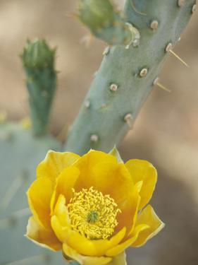 Prickly Pear Cactus in Bloom, Arizona-Sonora Desert Museum, Tucson, Arizona, USA by John & Lisa Merrill