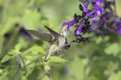 Ruby-throated Hummingbird at Amistad Salvia, Illinois by John & Lisa Merrill