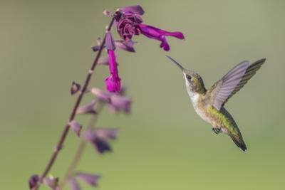 Ruby-throated Hummingbird at Salvia 'Love and Wishes', Illinois by John & Lisa Merrill