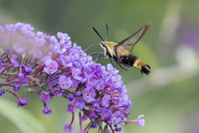 Snowberry Clearwing on Butterfly Bush, Illinois by John & Lisa Merrill