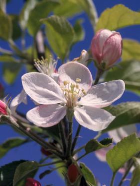 Apple Blossom by John Luke
