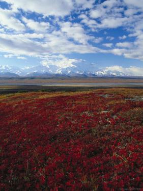 Bear Berries, Mt. Mckinley, AK by John Luke