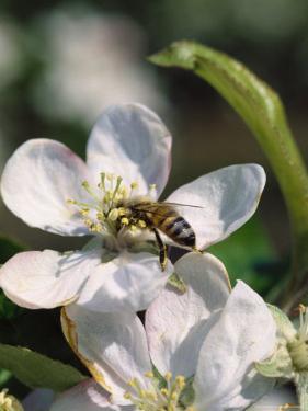 Bee on Apple Blossoms by John Luke