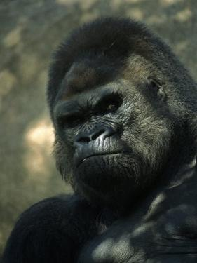 Gorilla in San Diego Wild Animal Park, CA by John Luke
