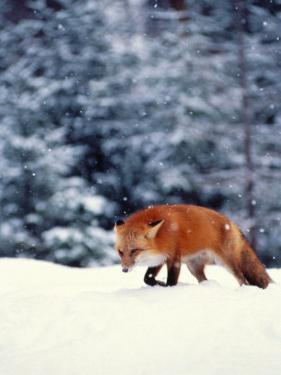 Red Fox in Snowy Woods by John Luke