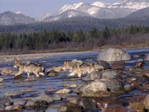 Wolves in Stream with Rocks, MT by John Luke