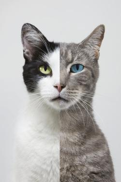 Composite Portrait of Two Different Cats by John Lund