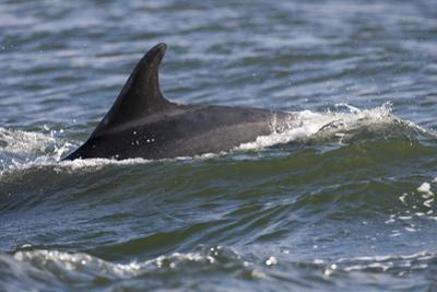 Bottlenose Dolphin Surfacing with Fin Showing, Moray Firth, Inverness-Shire, Scotland, UK by John Macpherson