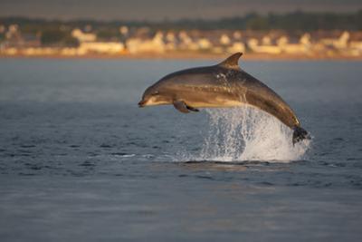 Bottlenose Dolphin (Tursiops Truncatus) Breaching in Evening Light, Moray Firth, Scotland, UK by John Macpherson