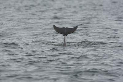 Bottlenose Dolphin (Tursiops Truncatus) Diving, Moray Firth, Inverness-Shire, Scotland, UK by John Macpherson