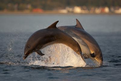 Bottlenose Dolphin (Tursiops Truncatus) Two Breaching in Evening Light, Moray Firth, Scotland, UK by John Macpherson