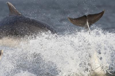 Two Bottlenose Dolphins (Tursiops Truncatus) Breaching, Moray Firth, Inverness-Shire, Scotland, UK by John Macpherson