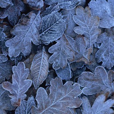 Frost on Leaves by John Miller