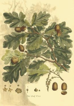 Antique Oak Tree by John Miller (Johann Sebastien Mueller)