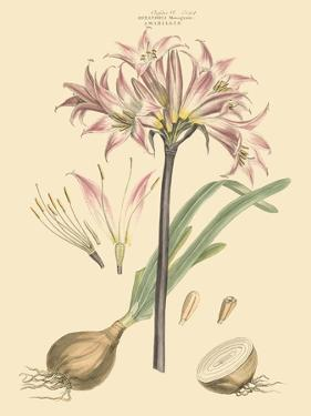 Blushing Pink Florals II by John Miller (Johann Sebastien Mueller)