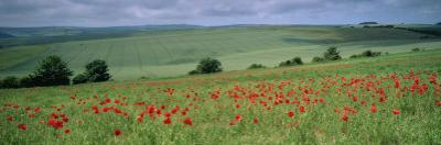 Poppies in June, the South Downs Near Brighton, Sussex, England, United Kingdom, Europe