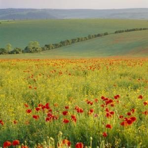 Poppy Fields, South Downs, Sussex, England, UK, Europe by John Miller