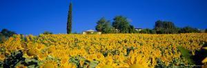 Sunflower Field, Tuscany, Italy, Europe by John Miller