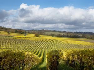View over Autumn Vines at Denbies Vineyard, Near Dorking, Surrey, England, United Kingdom, Europe by John Miller