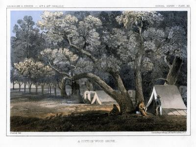 A Cotton Wood Grove, 1856