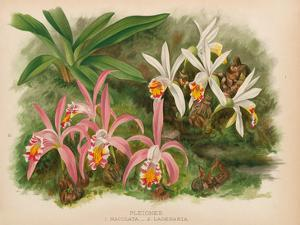 Orchids - Illustration from The Orchid Album (1887) by John Nugent Fitch