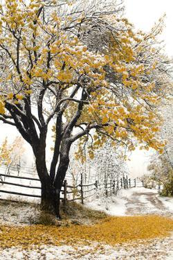 Apricot Tree in Autumn during Snowstorm by John P Kelly