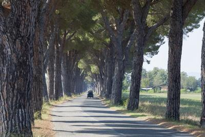 Pine Tree Lined Road with Small Piaggio Three Wheeled Van Travelling Along It