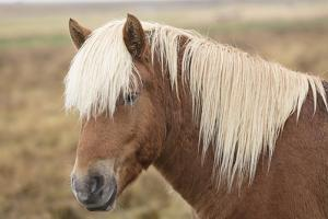 Icelandic horse, Snaefellsnes peninsula, Iceland, Polar Regions by John Potter