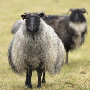 Icelandic sheep, Kirkjufell, Iceland, Polar Regions by John Potter