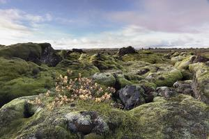 Moss heath vegetation on lava boulder field, South Iceland, Polar Regions by John Potter