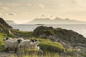 Sheep on the Beach at Camusdarach, Arisaig, Highlands, Scotland, United Kingdom, Europe by John Potter