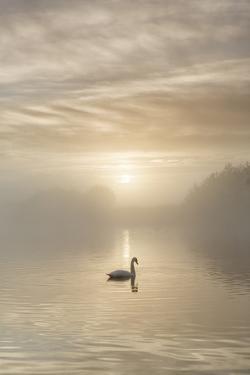 Swan on misty lake at sunrise, Clumber Park, Nottinghamshire, England, United Kingdom, Europe by John Potter