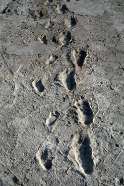 Trail of Laetoli Footprints. by John Reader