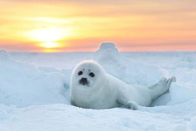 Baby Seal at sunset in Canada by John Rollins